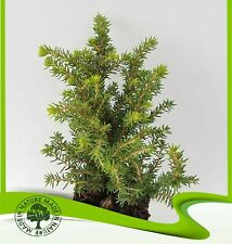 Picea pungens LUCKY STRIKE-Innestate in vaso bonsai 9cm oggetto