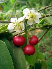 Plant Fruit Seed Tree Jamaican Cherry Strawberry Jam Muntingia Calabura400+Seeds