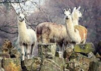 Awesome Llama Herd Poster Print Size A4 / A3 Animal Art Poster Gift #8540
