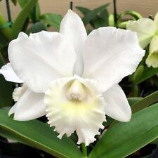 C Hawaiian Wedding Song 'Virgin', orchid plant