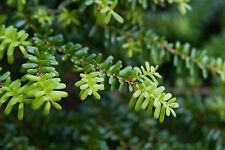 Tsuga diversifolia Northern Japanese Hemlock Tree Seeds!