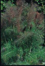 Herb - Suffolk Herbs - Bronze Fennel - Foeniculum vulgare - Pictorial Packet