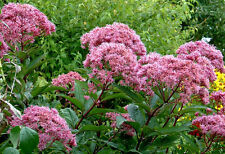 50 JOE PYE WEED EUPATORIUM MIX Flower Seeds *Comb S/H