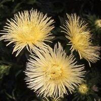 Aster- Needle- Yellow- 50 Seeds