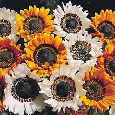 Arctotis Harlequin Mix Annual Seeds