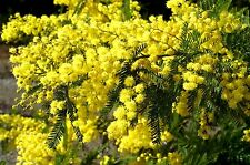 Acacia Bright Yellow blooms 20 Seeds with Free Shipping  Buy 1 Get 1  FREE