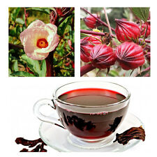 Roselle Hibiscus sabdariffa 25 seeds* Easy grow, Medicine, Tea * CombSH J16