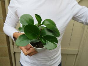 Peperomia obtusifolia Thailand Plant