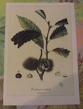 Art print affiche thermoplastique planche ancienne Fruit Châtaignier Bogue