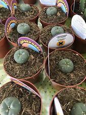 LOPHOPHORA WILLIAMSII Ariocarpus Planta Cactus 8,5cm pot Cacti Kakteen 1-2 Years