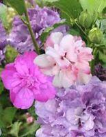 Rose A Sharon Tree Althea Dormant Purple Multi Colors Random Pick Size Vary