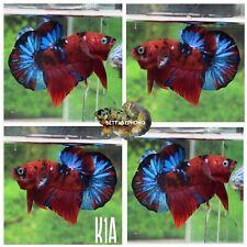 New listing live betta fish male Koi Galaxy Multicolors . Video In Description