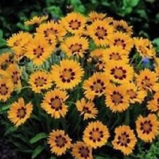 Coreopsis - Sunfire - 20 Seeds