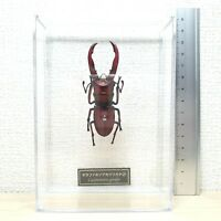 Deagostini 1:1 Cyclommatus Giraffa Stag Beetle Insect Figure