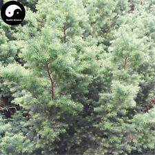 Buy Rong Cypress Tree Seeds Plant Chamaecyparis Pisifera Squarrosa