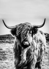 SCOTTISH HIGHLAND COW * LARGE A3 SiZE QUALITY CANVAS PRINT