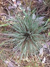 Blauschwingelgrass 7 Pflanzen für extreme Trockenheit selten aus Naturgarten