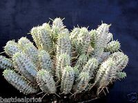 RARE Indian Corn Cob EUPHORBIA MAMMILLARIS VARIEGATA Cactus Succulent 2 Cuttings