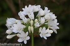 3 Agapanthus Duivenbrugge White  white flowers excellent garden plant