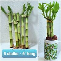 "6"" Lucky Bamboo Plants 5 Stalks w/ Roots, GIFT, Feng Shui, FREE Shipping"