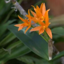 Orchid Cattleya aurantiaca (FS) 20sr