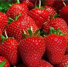 Strawberry Nastenka F1 Seeds large fruited perpetual red Ukraine 15 seeds