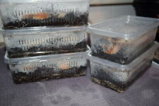 Established Culture of Live White Worms (Perfect Food for Fish)
