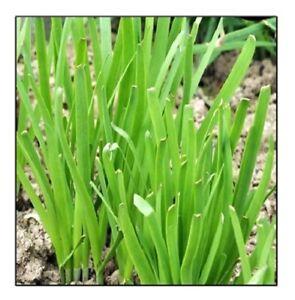 Garlic Chives Seeds  | NON-GMO | Fresh Garden Seeds