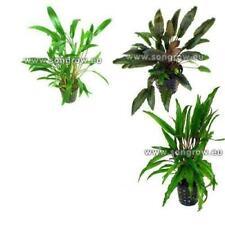 3 Töpfe Cryptocoryne Arten im Set, bunter Mix, Barschfeste Aquariumpflanzen