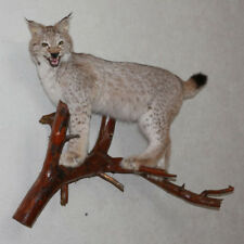 EURASIAN LYNX - TAXIDERMY MOUNT, STUFFED ANIMAL FOR SALE