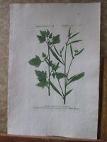 """Vintage Engraving,ATRIPLEX,Goosefoot,N.202,C.1740,WEINMANN,Botanical,20x13.5"""""""