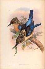 J GOULD reproduction imprimé oiseaux DACELO TYRO des oiseaux de l'Asie. # 26