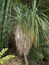 Yucca recurvifolia 35-40cm, bis zu -25°C, garant. echte Sorte keine Gloriosa !