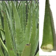 100Pcs Edible Aloe Vera Seeds Succulent Plant Rare Herbal Medicinal Vegetables