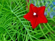 Seeds flowers Quamoclit pennata Cypress Liana red. pinnate from Ukraine