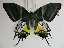 Pa2957.Unmounted butterflies: Teinopalpus aureus shinkaii. North Vietnam.Tam Dao