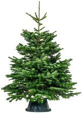 Premium Nordman Fir 5Ft 150cm Christmas Tree Fresh Live Real Christmas Trees