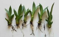 End of Summer Sale! 20 Small Agave Americana Plants, Bare Rooted From Florida