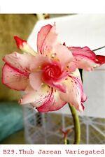 Succulent ,Adenium obesum noB29 thub jarean varigated,desert rose usa free ship