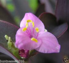 1 steckling tre Master Fiore 🌹 acqua cirro 🌹 Tradescantia pallida 'Purple Heart'