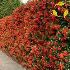 SCARLET FIRETHORN Pyracantha Coccinea - 50+ SEEDS