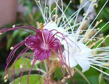 Jamaican Caper Capparis cynophallophora fruit florida native berry seed 10 seeds