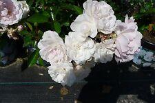 10x Rosa Sea Foam wunderschöne weisse Bodendecker Rose Rosen öfter blühend 20/30