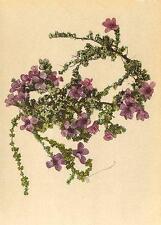ALPINE FLOWERS: Saxifraga oppositifolia L-Gegenblättriger Steinbrech;1897