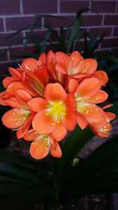 Clivia Seeds - (Orange x Green Walters) x Self - 8 Seeds