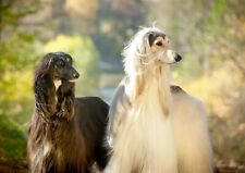 A3| Beautiful Afghan Hounds Poster Size A3 Canine Dog Lovers Poster Gift #16056