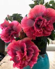 20 Double Purple Pink Hibiscus Seeds Perennial Flower Flowers 375 US SELLER