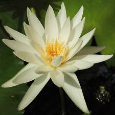 Nymphaea ampla White Water Lily Seeds