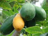 Papaya - Melonenbaum - 5+ Samen - SCHNELL und SÜß!