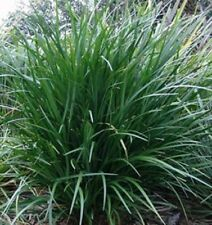 JUST RIGHT Liriope muscari border grass plant in 120mm pot